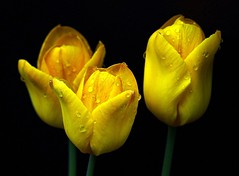 Tulips (cropped) (Deno Langis) Tags: flowers friends nature yellow fleurs bravo calendar tulips photos touch great group photographers special vision and plus sensational closeups et soe belles vos gpc eot firstquality flowerscolors fpg flowerotica mixedflowers bej natureplus worldbest anawesomeshot excellece infinestyle photosandcalendar flowersarebeautiful yelloweverywhere macroelsalvador excellentsflowers thesuperbmasterpiece rubyphotographer mimamorflowers flickrlovers waterdropsmacros awsomeblossoms vosplusbellesphotos flickrflorescloseupmacros photosandcalenda ubej panoramafotogrfico thedailypost thebestofmimamorsgroups greatshotss flowerquest secretenchantedgardens yellowyelloweverywhere daarklands bestcapturesaoi imagicland magicunicornverybest natureandpeopleinnature newgoldenseal sublimeflowershot flickrsportal silveramazingdetails esenciadelanaturaleza goldamazingdetails phoeniximmortal