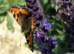 Petite tortue (Aglais urticae) (Le No) Tags: butterfly papillon 31 garonne aglaisurticae haute nymphalidae midipyrnes stlon petitetortue lauragais collectionnerlevivantautrement