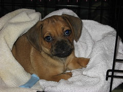 Percy's First Day at Home (theworldisfun) Tags: puppy percy puggle percythepuggle