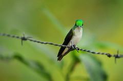 wire pose (brodmann's 17) Tags: bird nature colors ecuador intense colorful hummingbird tiny irridescence