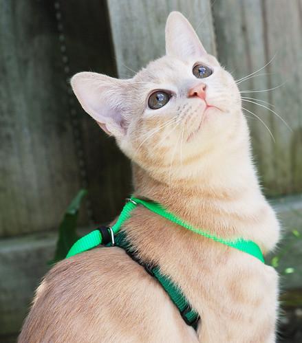 orange yellow cat mix kitten stripes tabby kitty spots gato markings ragdoll manx landry