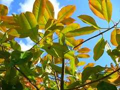 upside-down leaves (Tasmin_Bahia) Tags: leaves upsidedown green blue sky orange brown branches clouds white whispy trees twigs tree sunshine sunny sun summer simple shadows pretty peaceful outdoors nature magical light leaf garden fresh england colourful colour bright