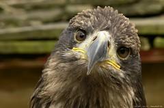 Poor sad eagle (Nemodus photos) Tags: eagle fz30 blueribbonwinner coth beautifulphoto concordians vosplusbellesphotos