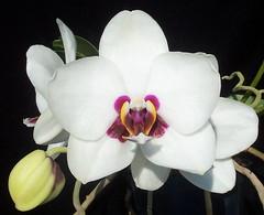 Phalaenopsis Haur Jin Princess 'C#1' (dwittkower) Tags: orchid flower flora orchids phalaenopsis orchidaceae phal orquideas orchidée orqudea