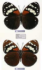 Euxanthe tiberius