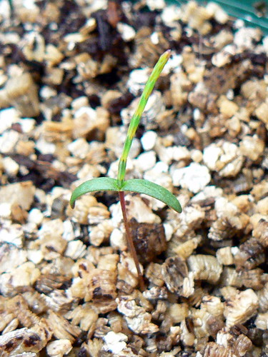 Allocasuarina littoralis seedling