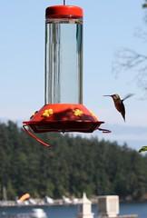 Orcas Island Hummingbird (DogMyCats) Tags: bird hummingbird birdfeeder orcasisland sanjuanislands