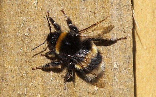 Bee Collecting Wood Fibers