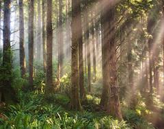 Burst Of Light In - Cascade Head Preserve Oregon Coast (kevin mcneal) Tags: trees light oregon forest oregoncoast sunrays lincolncity homersiliad travelsofhomerodyssey cascadeheadpreservearea