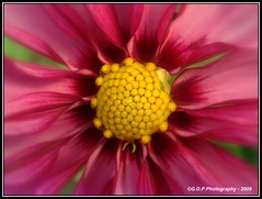 Soft and Gentle (Keep Focussed(on and off)) Tags: pink dahlia flowers flower macro nature yellow closeup petals flora soft