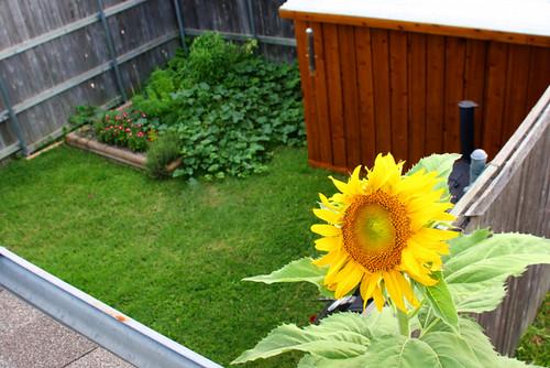 sunflowerroof