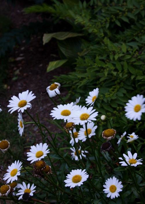 night.daisies