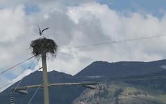 osprey_nest1