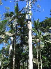 Archontophoenix maxima (tanetahi) Tags: archontophoenixmaxima arecaceae arecoideae archontophoenicinae palm native flora queensland australia archontophoenix australianrainforestplants tanetahi