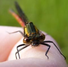 Look into my eyes (ukstormchaser (A.k.a The Bug Whisperer)) Tags: uk red animal animals fly wildlife large flies milton keynes damselfly damselfies