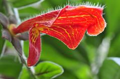 columnea scandens (Michael Döring) Tags: bochum d300 botanischergarten querenburg ruhruniversitätbochum michaeldöring afs105microg columneascandens