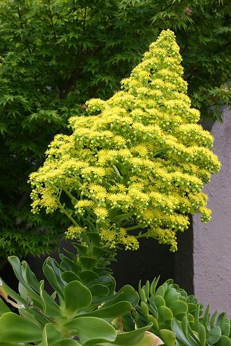 aeonium undulatum bloom