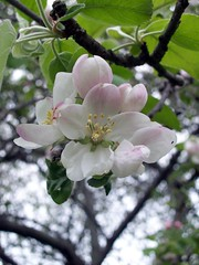 AppleBlossoms_51111n