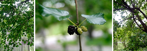 12.mulberry tree