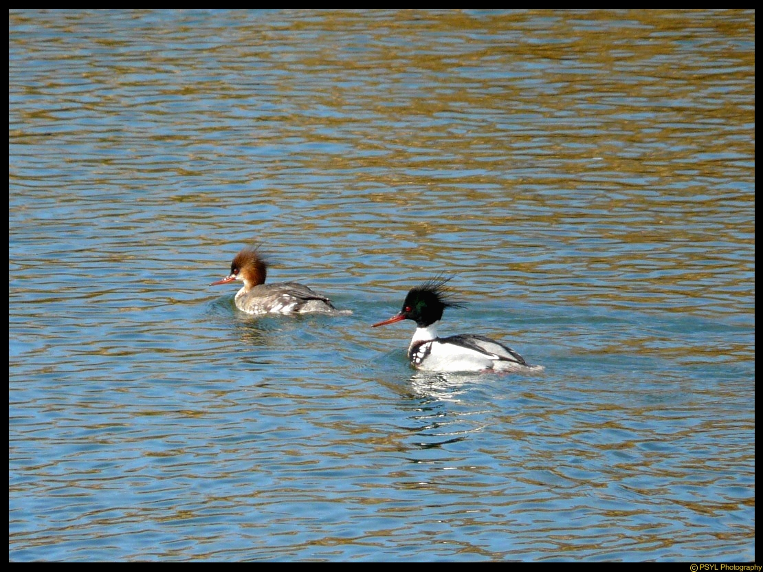 Red-breasted Mergansers (Mergus serrator)