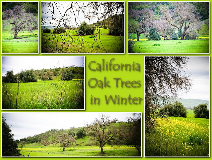 CA Oak Trees-000001