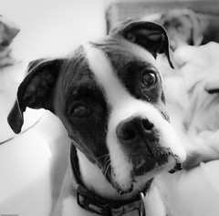 Whatcha Doin? (shadarington) Tags: bw dog canon eos blackwhite boxer diyp 40d ef2880mml