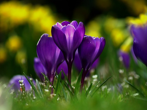 purple crocus flowers in a group / pjm2008