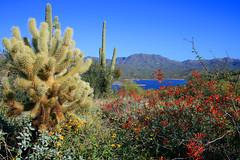 Bartlett Lake (SD Anderson) Tags: flowers arizona cactus plants lake mountains cacti outdoors spur spring colorful crossing desert scenic bloom bartlett sahuaro cholla