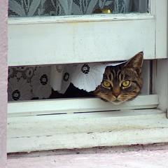 Watching (Dan Baillie) Tags: window cat scotland eyes feline tabby curtain watching animalplanet catseyes dumfriesandgalloway puddock danbaillie bailliephotographycouk bailliephotography wigtownshirephotographer dumfriesandgallowayphotography