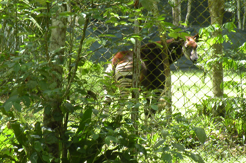Okapi watches the hoop-la