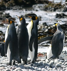 Elegant King Penguins, Macquarie Island (eserehtM) Tags: wild bird birds canon penguin penguins king canon300d antarctica macquarie antarctic subantarctic eastantarctica wildpenguin