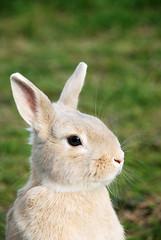 Evening (56ckr) Tags: rabbit bunny nature japan   shizuoka