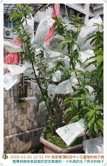 09.03.20樓頂桃子結果.套袋 (3)