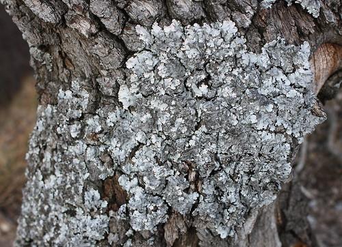 Lichen at Dunakanyar, 2009. 03. 21. 0022