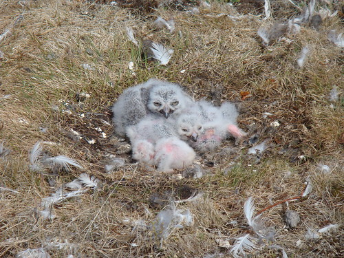 Snowy Owl Chicks