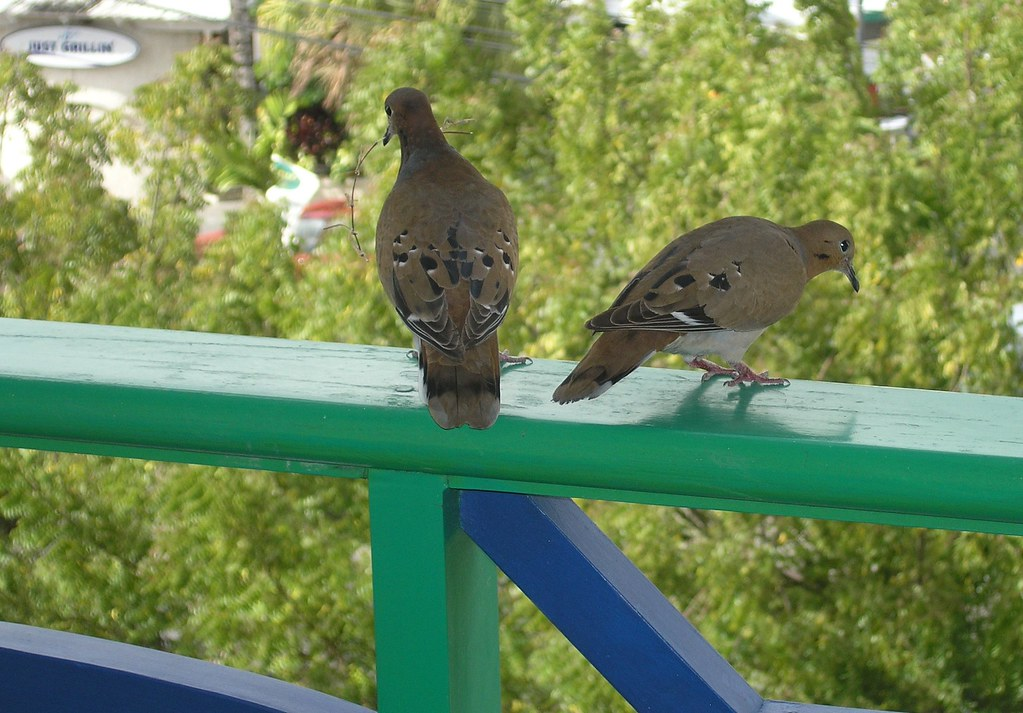 Zenaida doves on balcony rail, Accra Beach Hotel, Barbados