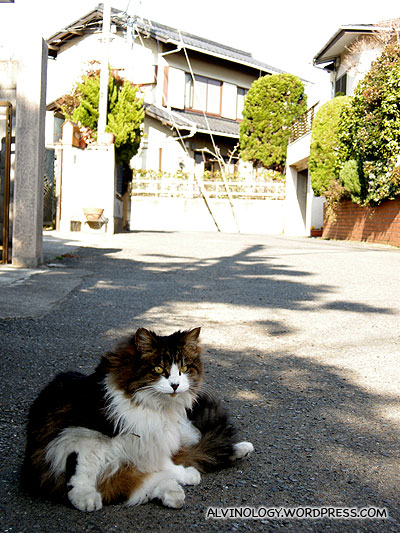 Japanese cats are much fatter than their counterparts in Singapore