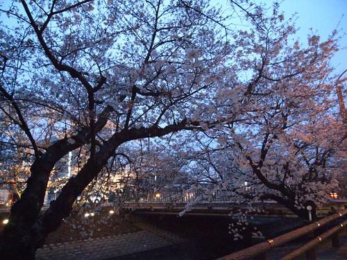 09-03-29【桜】@大和高田