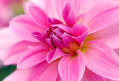 Pink flower (greg..!) Tags: pink dahlia france flower macro fleur beautiful rose wonderful french nikon greg shot couleurs awesome an beau francais color naturesfinest wonderfulworld d80 platinumphoto anawesomeshot impressedbeauty infinestyle rubyphotographer 100commentgroup vosplusbellesphotos