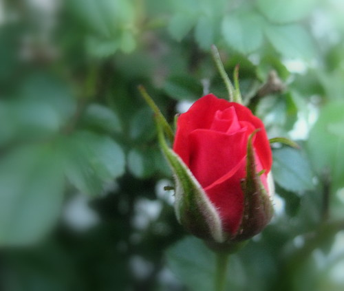 pictures of red roses blooming