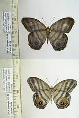 Chloreuptychia spn