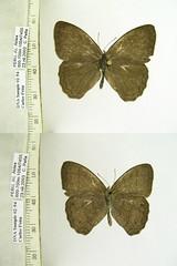 Paryphthimoides spn