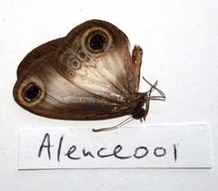 Acrophtalmia leuce