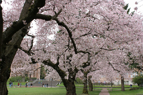 Cherry Blossoms at UW Quad