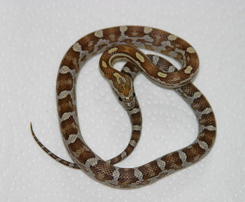 Caramel Motley Corn Snake Corn Snake Caramel Het Hypo