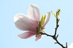 玉兰 - Magnolia denudata