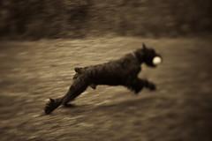 Max-3 (T. Scott Carlisle) Tags: dog max giant schnauzer derrick tsc tphotographic tphotographiccom tscarlisle tscottcarlisle