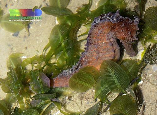 Estuarine seahorse (Hippocampus kuda)
