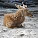 DGJ_1504 - Sika Deer