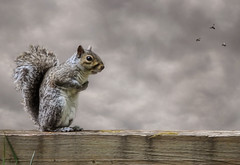 The Vigorous Squirrel of Temerity (andertho) Tags: delete10 delete9 delete5 delete2 dc washington squirrel delete6 delete7 save3 delete8 delete3 delete save save2 save4 dcist save5 huntleymeadows huntleymeadowspark vosplusbellesphotos
